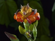 Cuban flower bat emerging from a flower of the blue mahoe tree photo by Merlin Tuttle