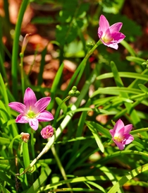 Cuban Rain Lily  Zephyranthes rosea