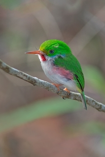 Cuban Tody Todus multicolor  photo by Waldemar Reczydlo