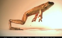 Cuban tree frog Osteopilus septentrionalis jumping taken with high speed imaging OC  x