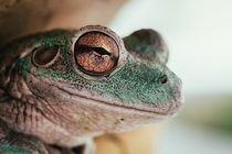 Cuban Tree Frog  x