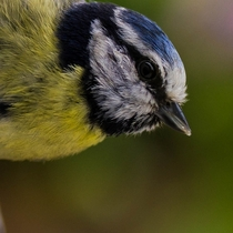 Curious blue tit