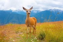 Curious deer at Olympic National Park Washington