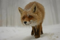Curious Fox   Dan Dinu