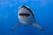 Curious great white shark