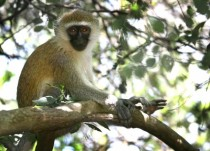 Curious little Vervet monkey
