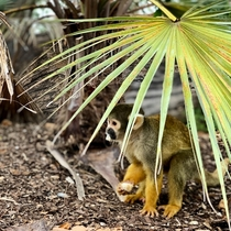 Curious squirrel monkey looking for some more bananas