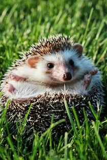 Cute Hedgehog laying in the grass