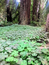 Cute little clover patch among the beautiful giants in Big Muir Woods Mill Valley California