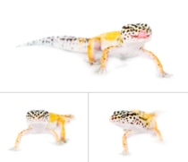 Cute little leopard gecko that my friend brought in for a photoshoot