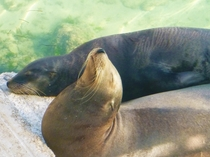 Cute Mexican Sea Lion couple basking  napping