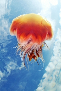 Cyanea capillata in shallow water Photo by marine biologist Alexander Semenov