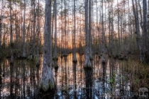 Cypress dome swamp just before sunset in central Florida