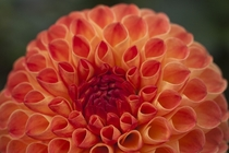 Dahlia Ginger Willo Pom pon   x