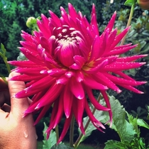 Dahlia Hortensis atop Lookout Mountain TN   x