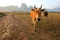 Dairy cow and calf Laos