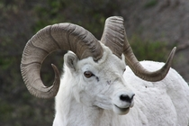 Dall Sheep in Denali NP Alaska