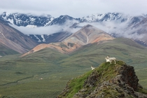Dall Sheep in front of the Polychrome Mountains Denali National Park AK