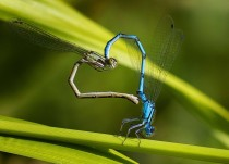 Damselflies make the shape of a heart