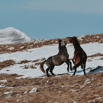 Dance into the  Bosnian feral horses