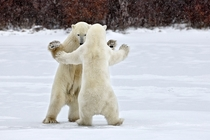 Dancing bears at the Wapusk National Park Canada by Alexey Suloev