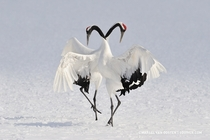 Dancing Red-crowned cranes in Japan  by Marsel van Oosten