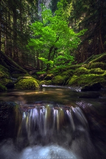 Dappled light illuminating this mesmerizing tree growing in the middle of a stream within the Mt Hood OR Wilderness