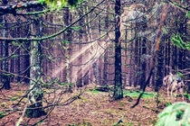 Dark untouched Forest in Harz National Park Germany