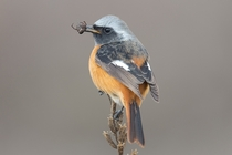Daurian Redstart caught a bug for dinner by JinHyouk Jang