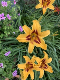 Day lily hemerocallis