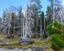 Dead bright-white lodgepole pines near the Norris Geyser Basin WY