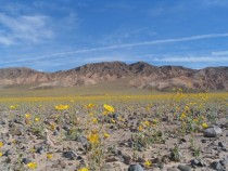 Death Valley field of gold