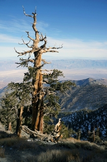 Death Valley from Telescope Peak and an ancient Bristlecone Pine California  x