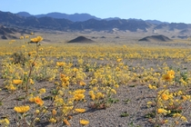 Death Valley National Park superbloom