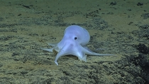 Deep Discoverer Discovers A Very Deep Ghostlike Octopod This ghostlike octopod is almost certainly an undescribed species and may not belong to any described genus Image courtesy of NOAA Office of Ocean Exploration and Research Hohonu Moana