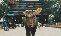 Deer at Todaiji Temple in Nara Japan