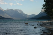 Deer at Waterton Lake