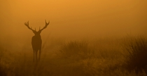 Deer in the Mist by Nigel Hodson