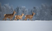 Deer in the snow by Tamara Patrejeva