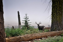 Deer looking through the mist - Sequoia National Park