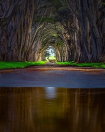 Deer strolling through a cypress tunnel Pt Reyes National Seashore Point Reyes Peninsula in Marin County California Nicholas Steinberg