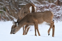 Deers in the snow Photo credit to Pablo Vidal-Ribas