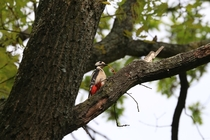 Dendrocopos major Great spotted woodpecker in Berlin Credit to my Grandpa