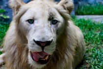 Derp Lion Panthera leo