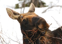 Derpy Moose in Grand Teton National Park