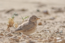 Desert lark Ammomanes deserti is not very sociable and does not form large flocks being mainly encountered in small groups or as single birds - Desert National Park Rajasthan India