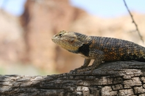 Desert Spiny Lizard Sceloporus magister near the bottom of the Grand Canyon