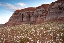 Desert wild flowers growing on a very shallow sand bed at the Grand Staircase Escalante National Monument Utah USA