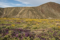 Desert Wildflowers in Anza-Borrego State Park CA