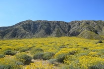 Desert wildflowers in full bloom White Water Preserve CA